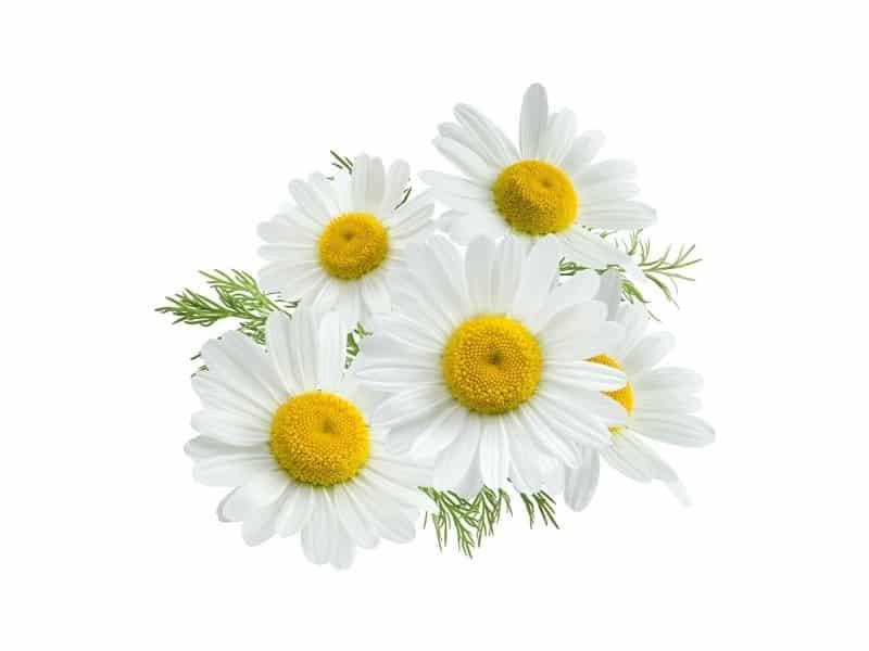 """<img src=""""fleur-de-camomille.jpg"""" alt=""""savon citron camomille fleur de camomille""""/>"""