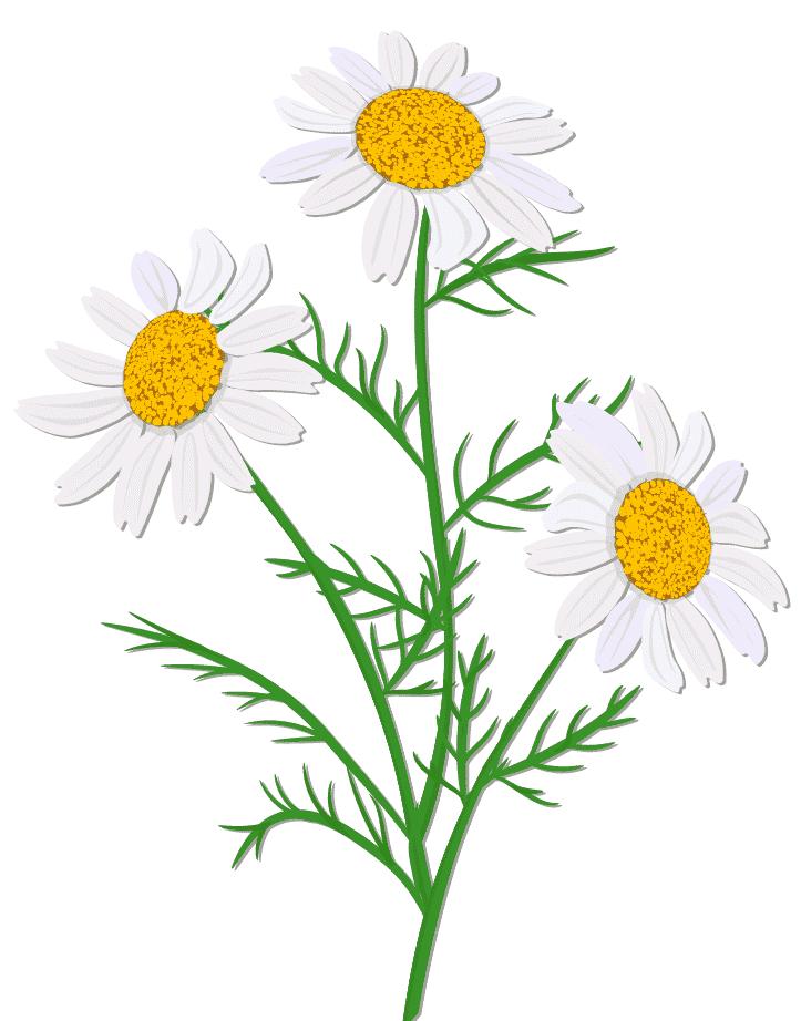 """<img src=""""Sans-titre-68.png"""" alt=""""fleur de camomille"""">"""