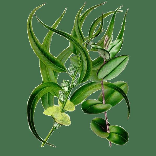 "<img src=""fleur-eucalyptus-radiata.png"" alt=""huile essentielle eucalyptus radiata"""