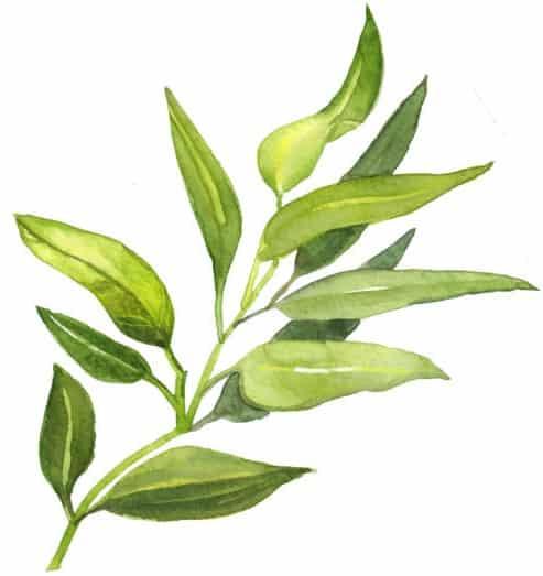 """<img src=""""istockphoto-1194697076-612x612-2.jpg"""" alt=""""branche de tea tree"""">"""